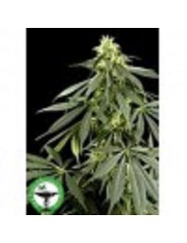 Finest Medicinal Seeds G13 - Feminized 5