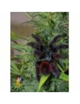 Sativa Seeds Full Moon - Feminized 5