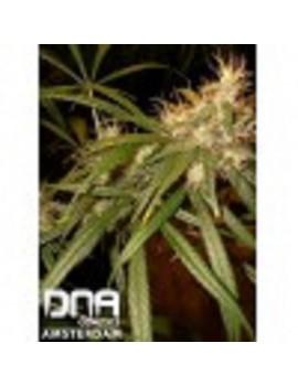 DNA Genetics - C13 Haze - Feminized 6