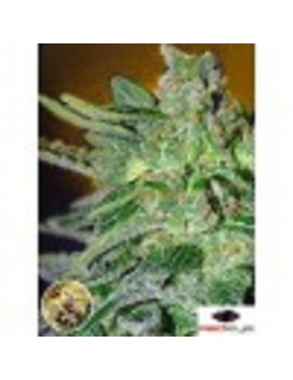 Advanced Seeds - Haze Mist - Feminized 1