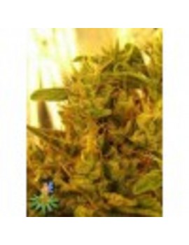Sativa Seeds Haze #1 - Feminized 10