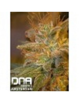 DNA Genetics - Kushberry - Feminized 6