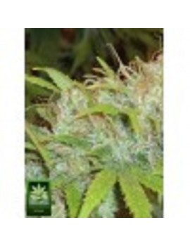 Homegrown Fantaseeds Californian Orange - Regular 10