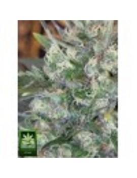 Homegrown Fantaseeds Caramella - Regular 10