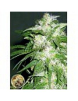 Advanced Seeds - Ice Kush - Feminized 1