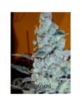 Delicious Seeds - Critical Jack Herer - Feminized 5