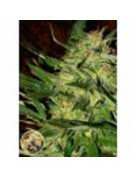 Advanced Seeds - Jack Plant - Feminized 1