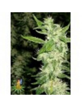 Sativa Seeds Jock Horror - Feminized 5