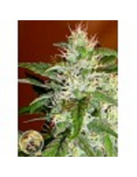 Advanced Seeds - Kaya 47 - Feminized 1