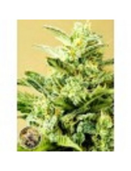Advanced Seeds - Low Girl - Feminized 1