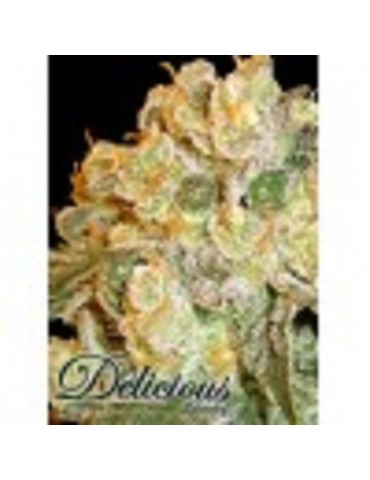 Delicious Seeds - Marmalate - Feminized 5