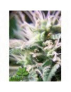Female Seeds Purple Maroc - Feminized 4