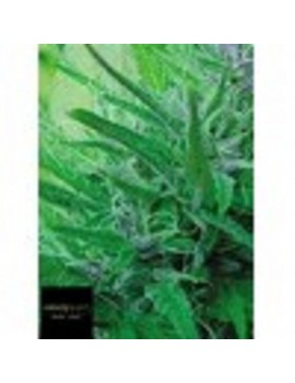 Black Label Seeds - Master Kush - Feminized 10