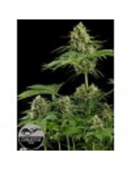 Dinafem Seeds - Moby Dick