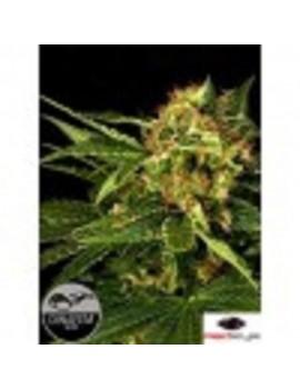 Dinafem Seeds - Moby Hash - Feminized 3