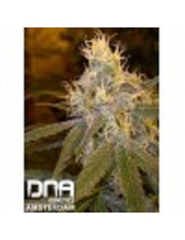 DNA Genetics - Chocolope
