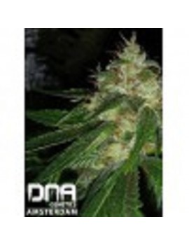 DNA Genetics - Connie Chung - Feminized 6