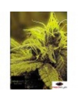 Female Seeds Neville's Haze - Feminized 4
