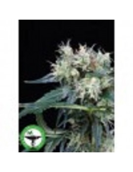 Finest Medicinal Seeds Northern Lights 5 Haze - Feminized 5