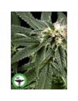 Finest Medicinal Seeds Peace Maker - Feminized 5