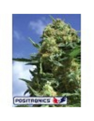 Positronics Seeds Black Widow - Feminized 5