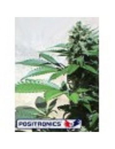 Positronics Seeds Blue Rhino - Feminized 5