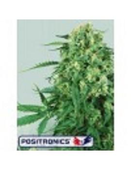Positronics Seeds Caramel Ice - Feminized 5