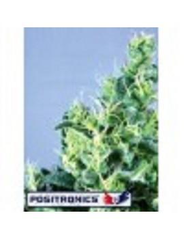 Positronics Seeds Claustrum - Feminized 5