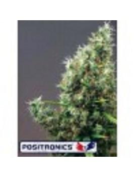 Positronic Seeds Cum Laude - Feminized 5