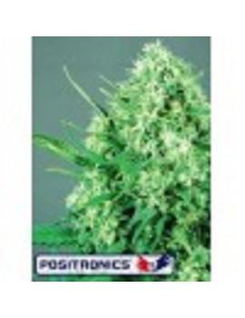Positronics Seeds Jack Diesel - Feminized 5