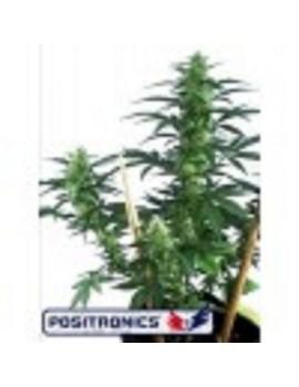 Positronics Seeds May Day - Feminized 5