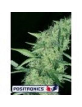 Positronic Seeds Somango 47 - Feminized 5