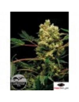 Dinafem Seeds - Power Kush - Feminized 3