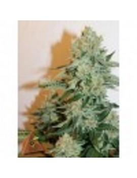 Pyramid Seeds Anestesia - Feminized 5