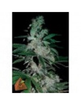 Pyramid Seeds Pipi - Feminized 5