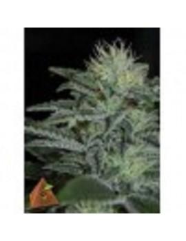 Pyramid Seeds White Widow - Feminized 5