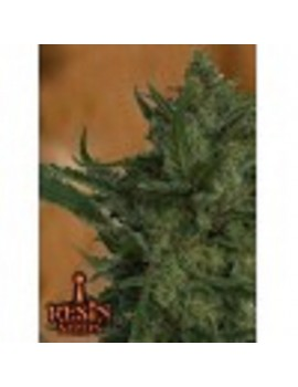 Resin Seeds Critical Haze - Feminized 10