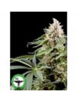 Finest Medicinal Seeds White Rhino - Feminized 5