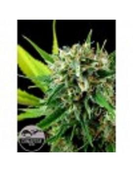 Dinafem Seeds - Royal Haze - Feminized 5