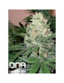 DNA Genetics - RockLock - Regular 13