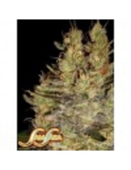 Samsara Seeds Crazy Miss Hyde - Feminized 3