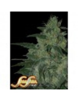 Samsara Seeds Holy Grail 69 - Feminized 3