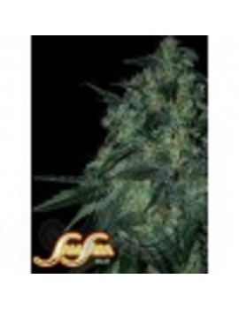 Samsara Seeds Jekyll Passion - Feminized 3