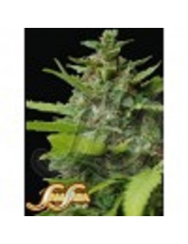 Samsara Seeds Kiss Dragon - Feminized 3