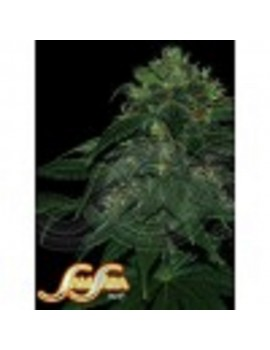 Samsara Seeds Punky Lion - Feminized 5