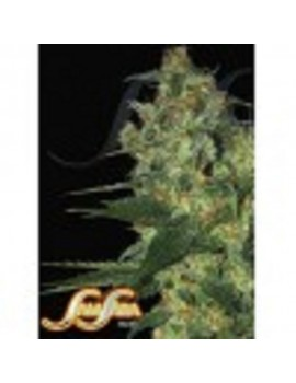 Samsara Seeds Spicy White Devil - Feminized 3