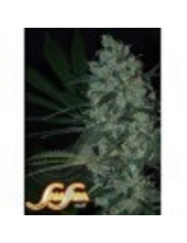 Samsara Seeds Green Love Potion - Feminized 5