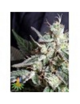 Sativa Seeds Blackjack - Feminized 5
