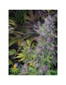 Sativa Seeds Blackberry - Regular 10