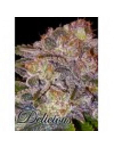 Delicious Seeds - Caramelo - Feminized 5